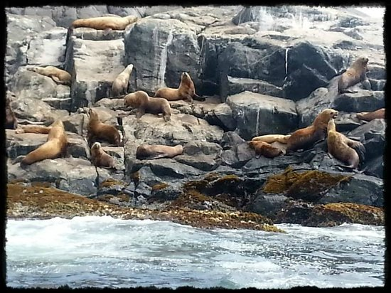 ‪‪Port Hardy‬, كندا: Stellar sea lion colony.‬