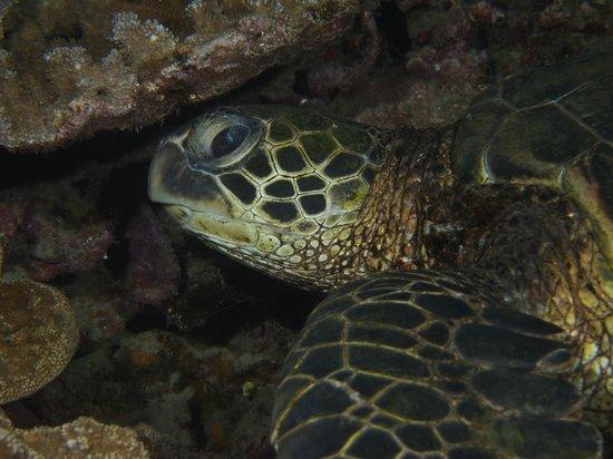 Sheraton Maui Resort & Spa: Night Dive - Sea Turtle (Honu)