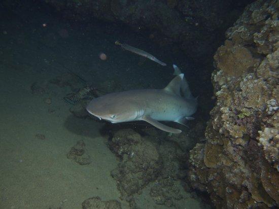 Sheraton Maui Resort & Spa: Night Dive - White-tip Shark