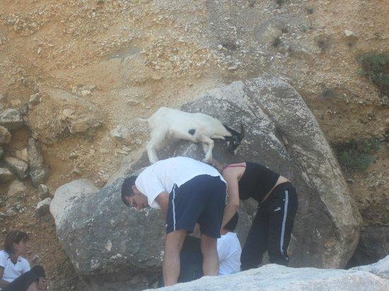 Cala Goloritze: Goat on the beach