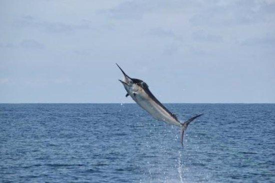 Flamingo Sportfishing CR: Huge black marlin 550 lb