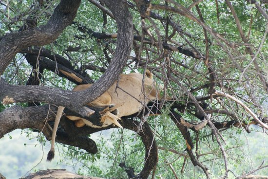 andBeyond Lake Manyara Tree Lodge: lion on tree