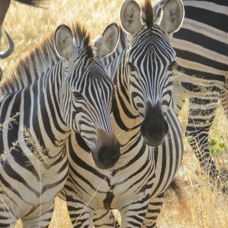 Tarangire Safari Lodge : Zebra are in abundance!