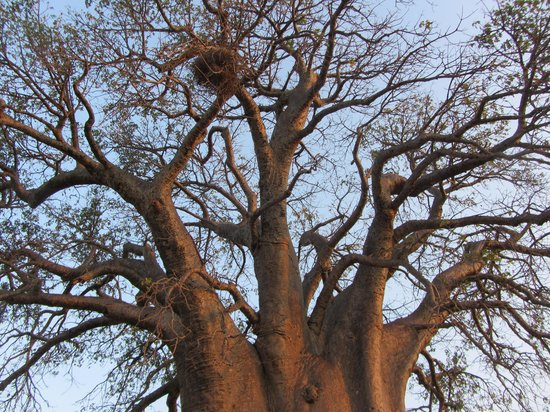 Tarangire Safari Lodge: Beautiful Baobab trees.