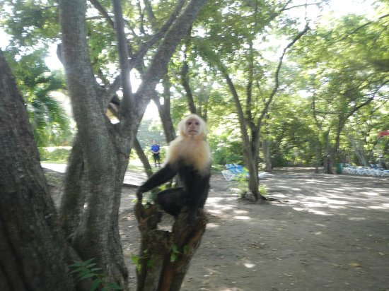 Allegro Papagayo: One of the numerous Capuchins on the beach.