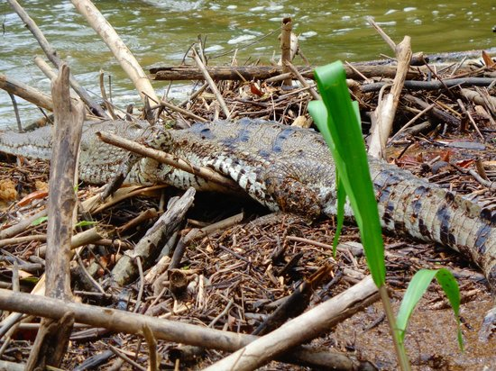 Jaguar Reef Lodge & Spa: Crocodile on the Monkey River adventure