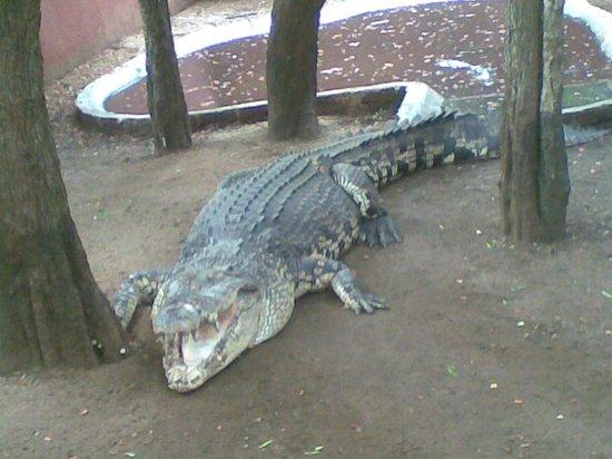 Guindy Snake Park: Crocodile