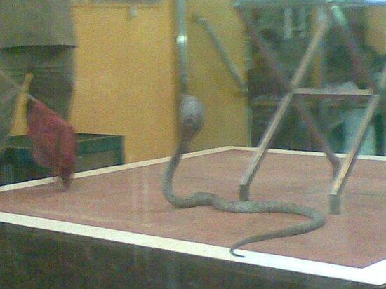Guindy Snake Park: Cobra demo