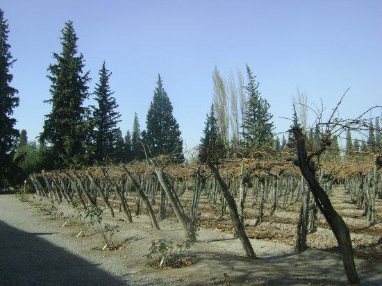 Museo del vino: vid