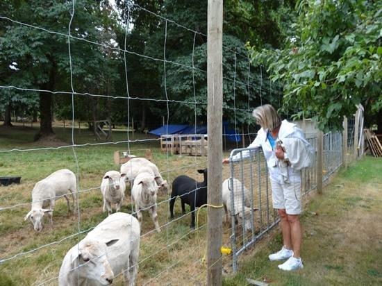 Cedar Grove Farm B&B : Becky introducing us to the black sheep