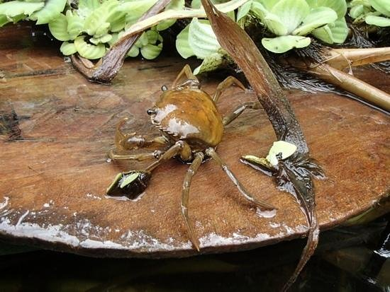 Otorongo Amazon River Lodge: friendly crabs