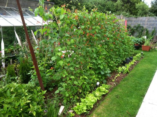 Oakley House B&B: Garden, back yard of Oakley House, (scarlet runner beans)