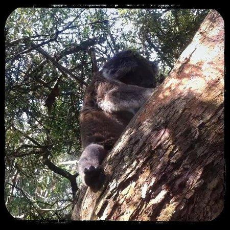 APT Phillip Island Day Tour: koalas in trees