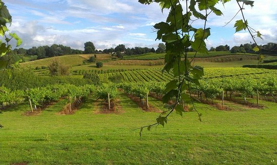 Three Choirs Vineyards : The beautiful vines