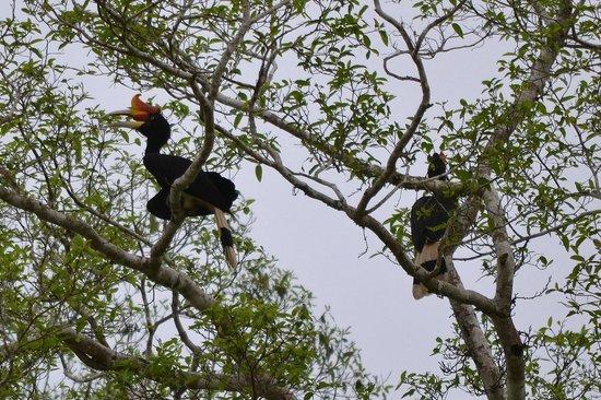 Sukau Rainforest Lodge: Rhinoceros Hornbills