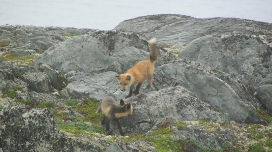 Quirpon Lighthouse Inn: Foxes playing near the Inn