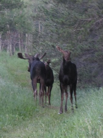 Cypress Hills Interprovincial Park: Moose at Cypress Hills