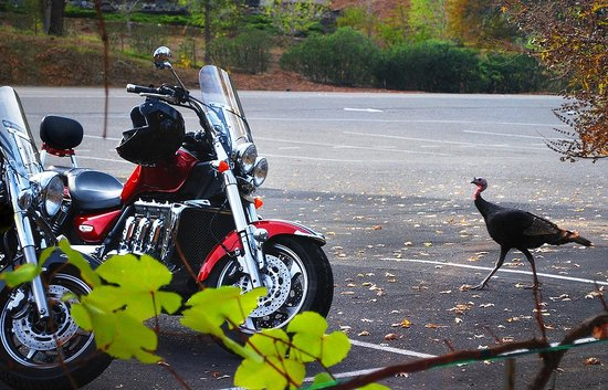 Wild turkey patrols lot near our bikes in front of Cucina Italiana.