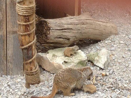 Axe Valley Wildlife Park: Meerkat and pups
