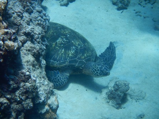 Hula Girl Excursions: sea turtle