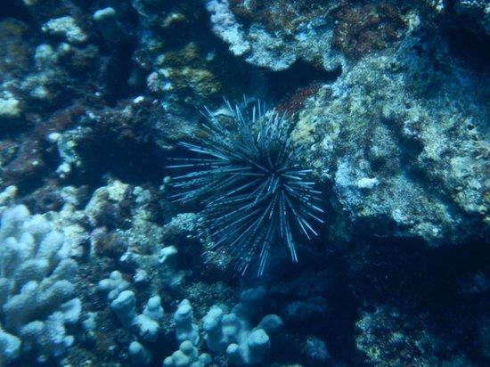 Hula Girl Excursions: sea urchin