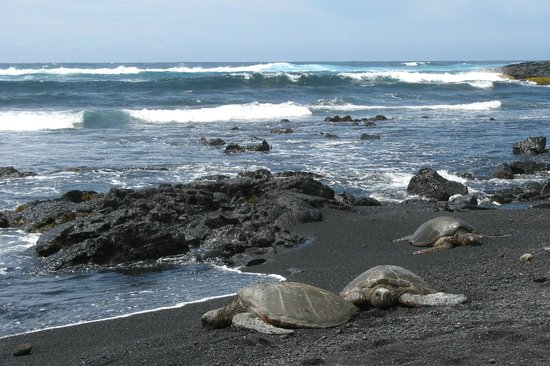 Island Aina Tours Sea Turtles At Punalu U Black Sand Beach Park
