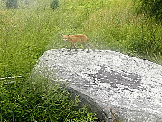 The National Riding Stable at Artillery Ridge Camping Resort : Close up of a very wet fox on a rock