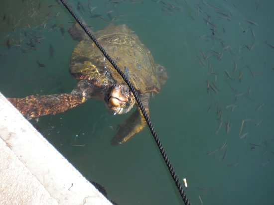 Cephalonia Palace Hotel: our turtle in argostoli harbour