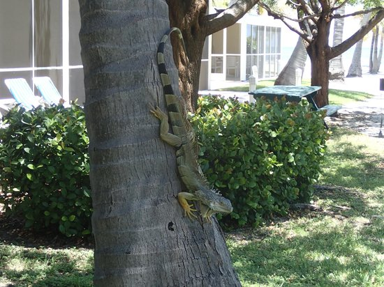Islander Resort: An iguana hanging out in a tree outside our room