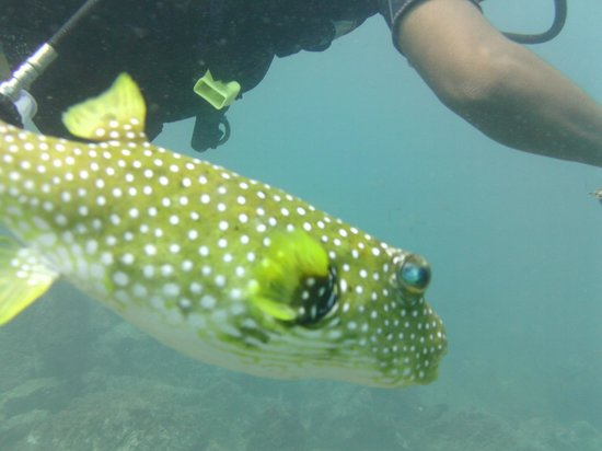 Charlie's Adventure Tours: Our pet puffer. Followed us around the whole dive.