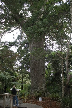 The Lodge at Kauri Cliffs : Kauri tree