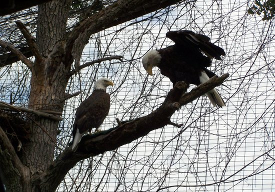 Bay Beach Wildlife Sanctuary: Bald Eagles