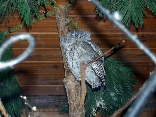 Bay Beach Wildlife Sanctuary: Screech Owl