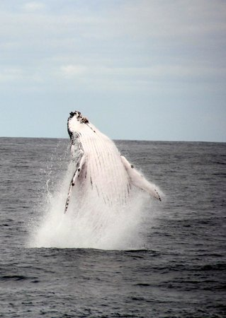 Spirit of Gold Coast Whale Watching : the jumping whale