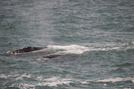 Brown Jug Guest House : whale watching
