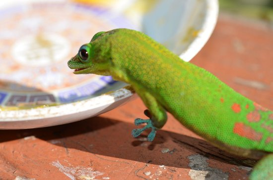Mauna Kea Beach : Aloha-Gecko