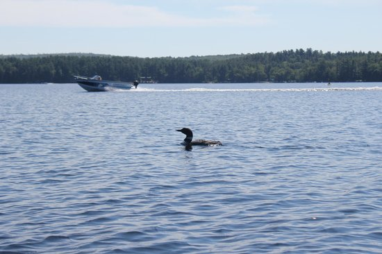 Bear Spring Camps: One of the resident Loons