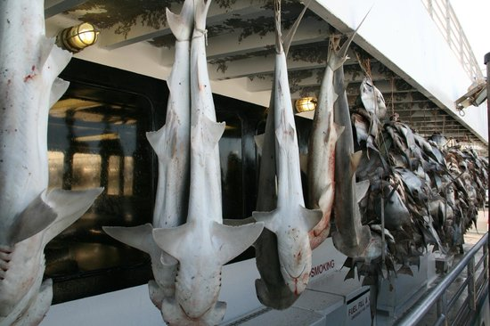 Williams Party Boats Over 400 Fish Sharks 90 Lb Sting Ray