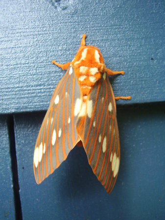 Wilderness View Cabins : One of many spectacular moths on side of cabin