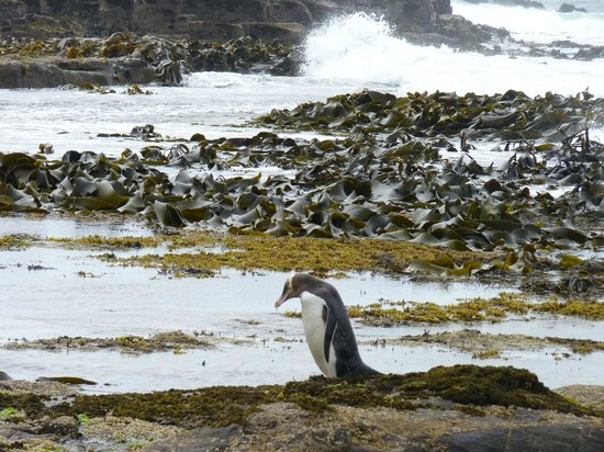 Curio Bay Natural Heritage Centre: This sums up Curio Bay to me,yellow-eyed penguin,giant sea kelp and crashing waves in the backgr