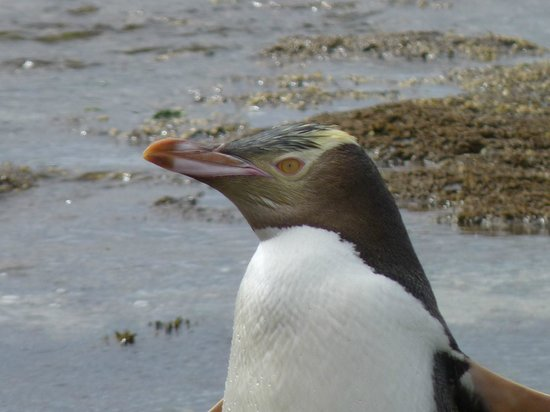 Curio Bay Natural Heritage Centre: The beautiful features of the yellow-eyed penguin.