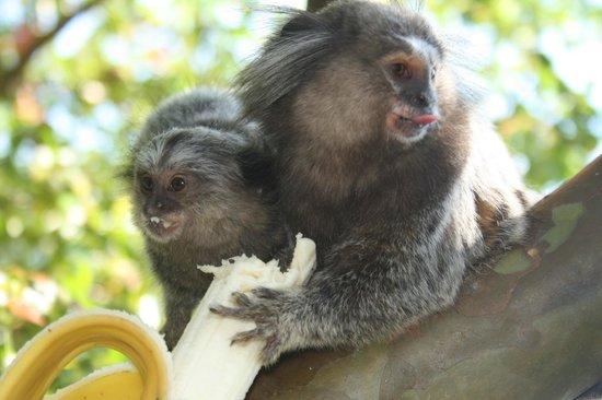 Sagu Mini Resort: Monkeys joining us for breakfast