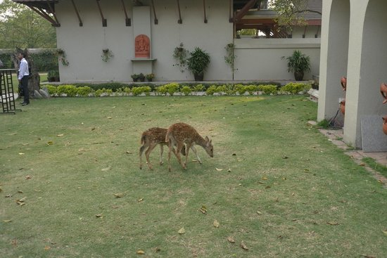 Gokarna Forest Resort: Deer in the grounds of the hotel!!