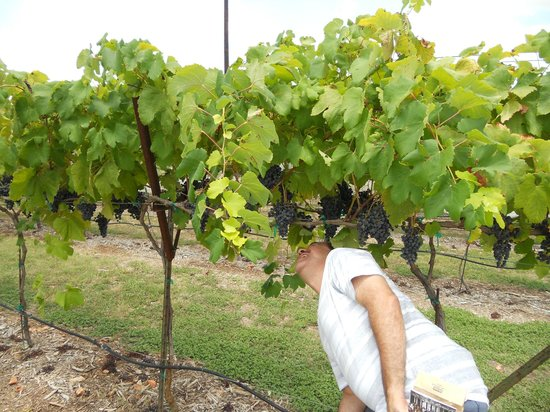 Dry Comal Creek Vineyards : grapes