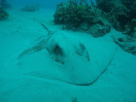 Scuba Dive It: ray