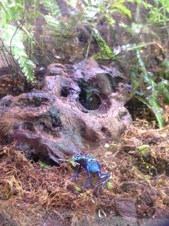 Living Coast Discovery Center: Poison Dart Frog