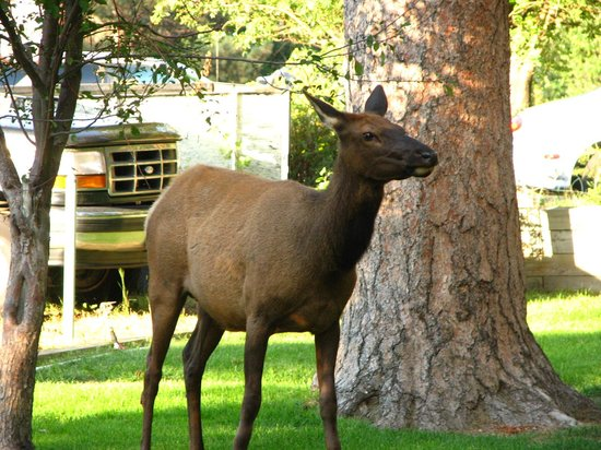 Loveland Heights Cottages: The friendly, neighborhood elk
