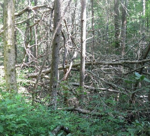 Chattooga River Trail: Trail blocked by trees