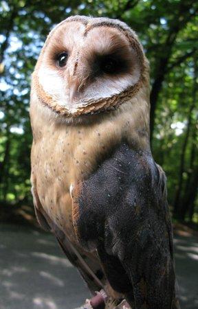 Killarney Falconry : Beautiful owl