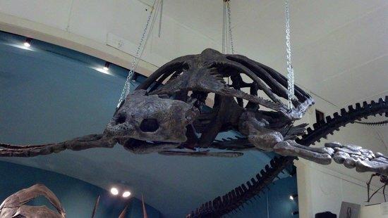 The Museum @ Black Hills Institute: Ancient sea turtle